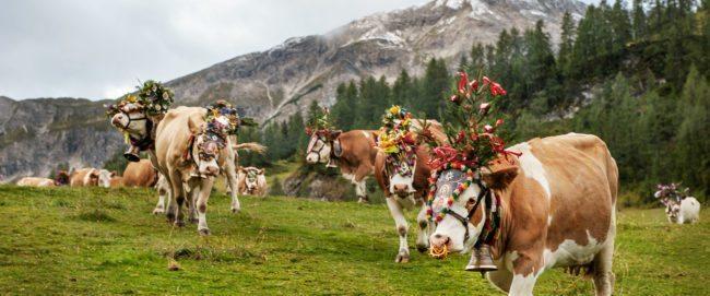 Beitragsbild Therme Amade – Grünlandbetrieb & Milchviehhaltung – Landwirtschaft am Hacklbauer in Altenmarkt, Salzburger Land