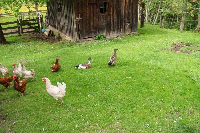 Tiere beim Hacklbauer –Kinderparadies im Bauernhofurlaub in Altenmarkt, Salzburger Land